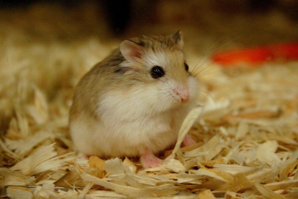 chuot-hamster