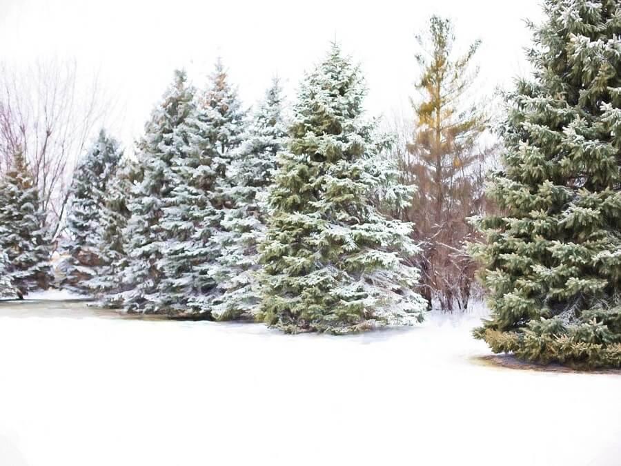 cây thông xanh tốt quanh năm