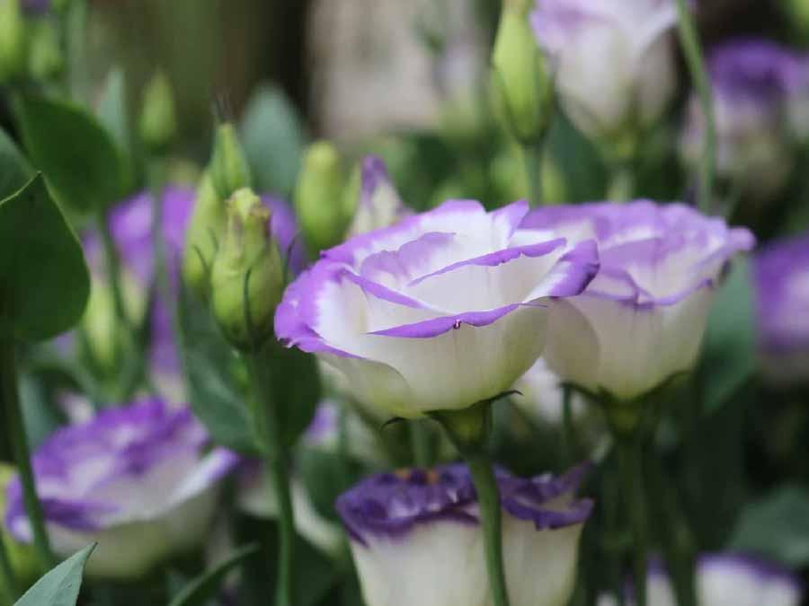 hoa cát tường dễ trồng ngày Tết