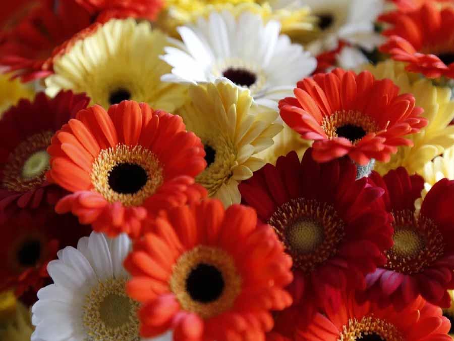 hoa cúc đồng tiền