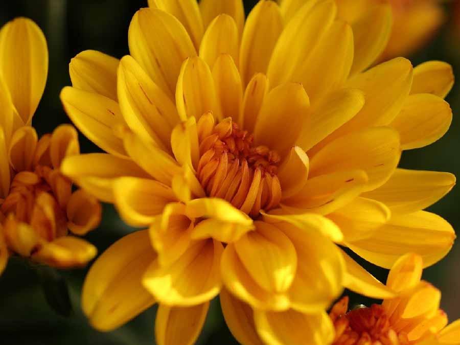 hoa cúc là một trong các loại hoa tết dễ trồng