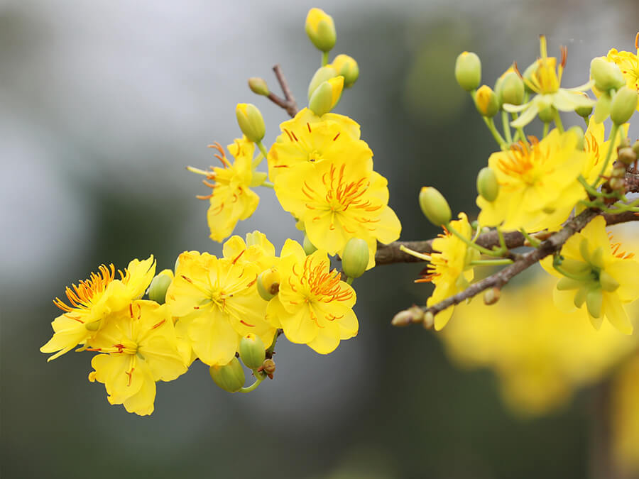 hoa mai chưng bàn thờ ngày tết