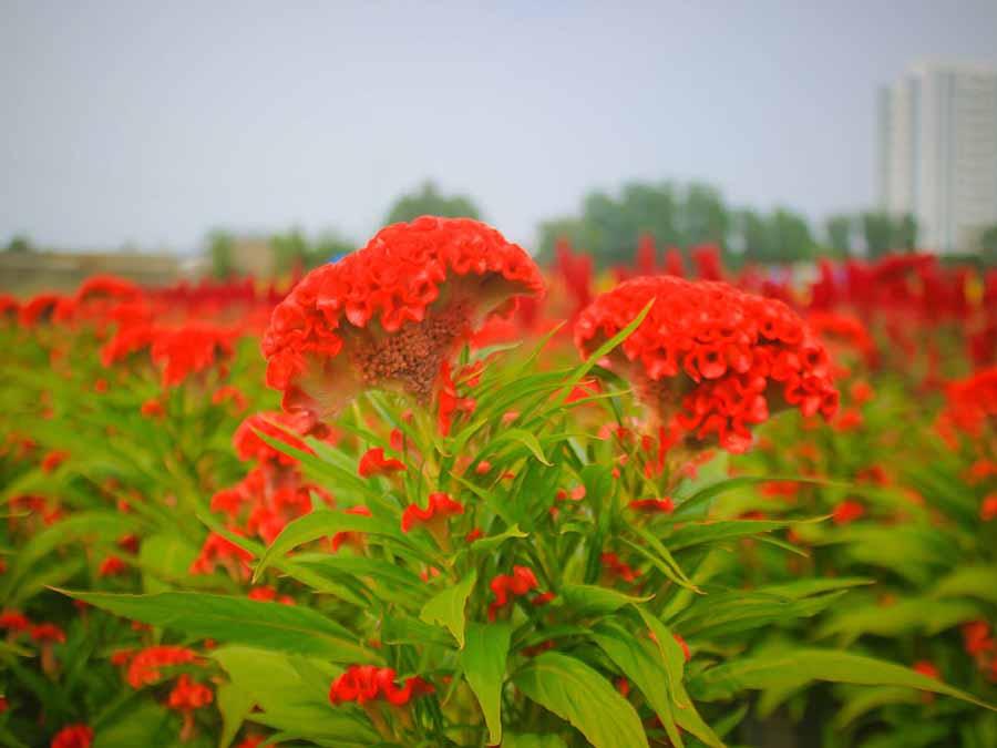 hoa mào gà là một trong các loại hoa tết dễ trồng
