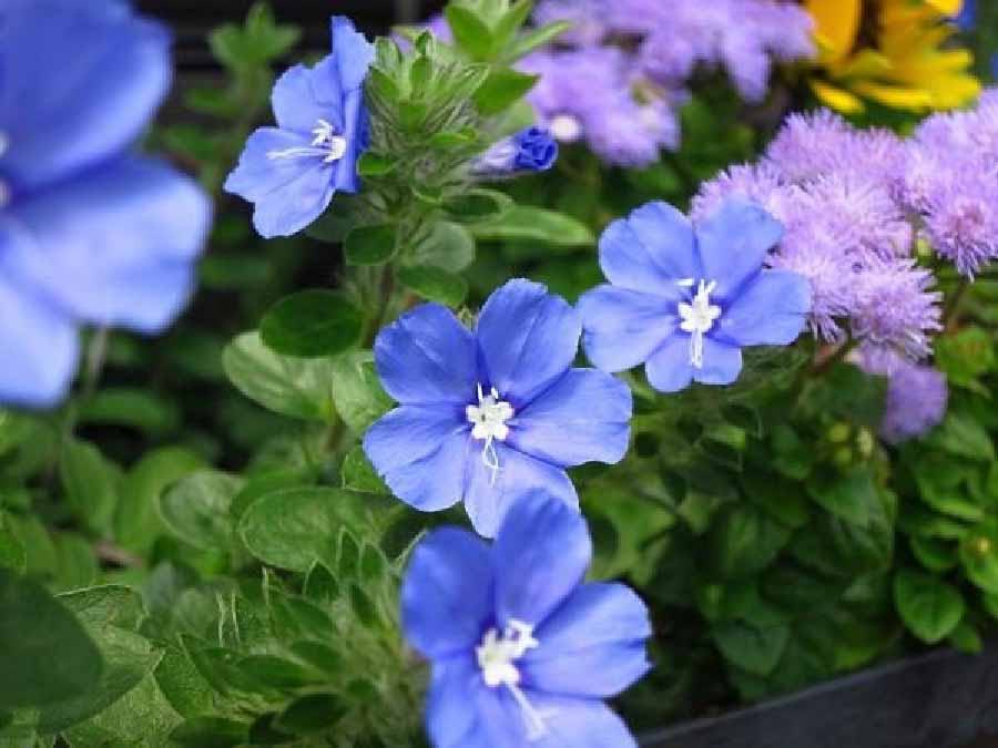 hoa thanh tú dễ trồng dịp Tết