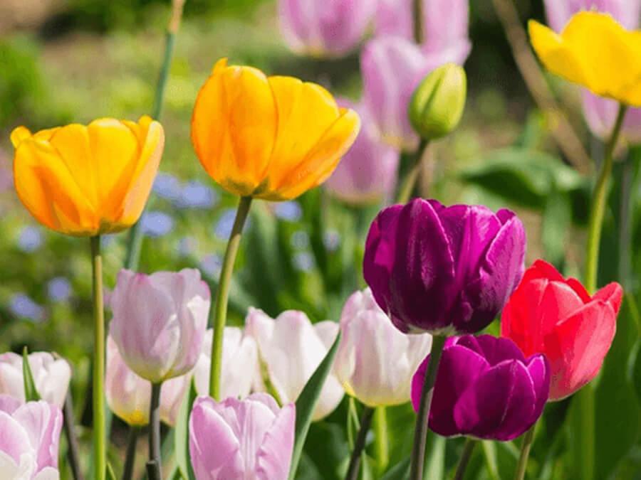 hoa tulip chưng tết