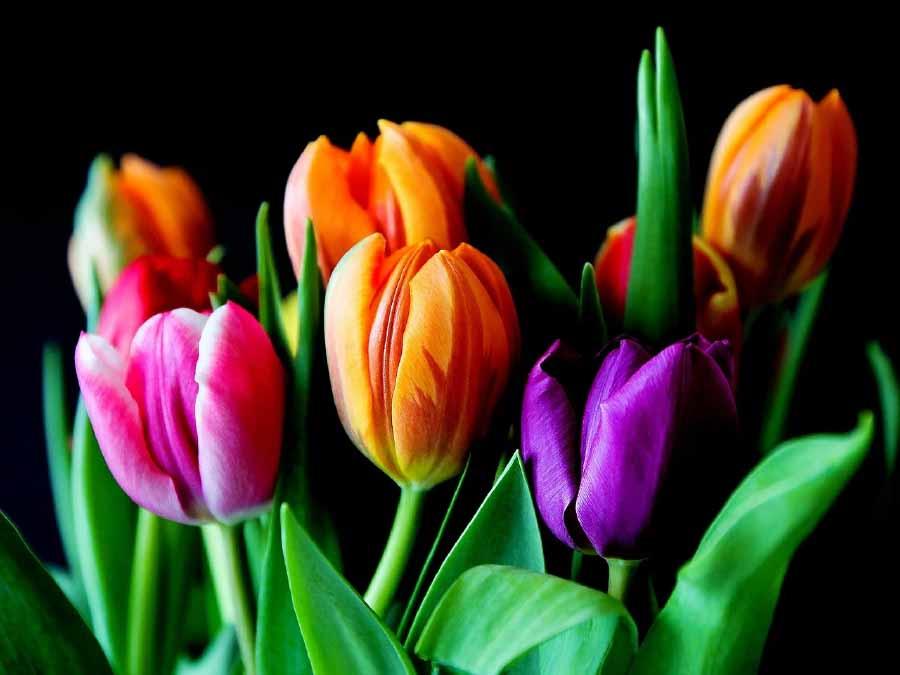 hoa tulip dễ trồng ngày Tết