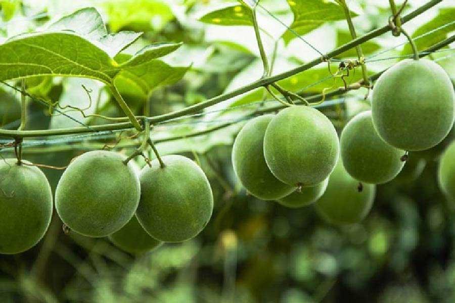 cây la hán quả