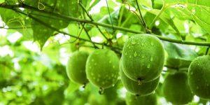 cây và quả la hán